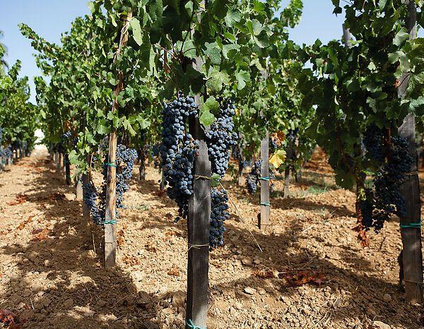 Bush vine cultivation in Sicily